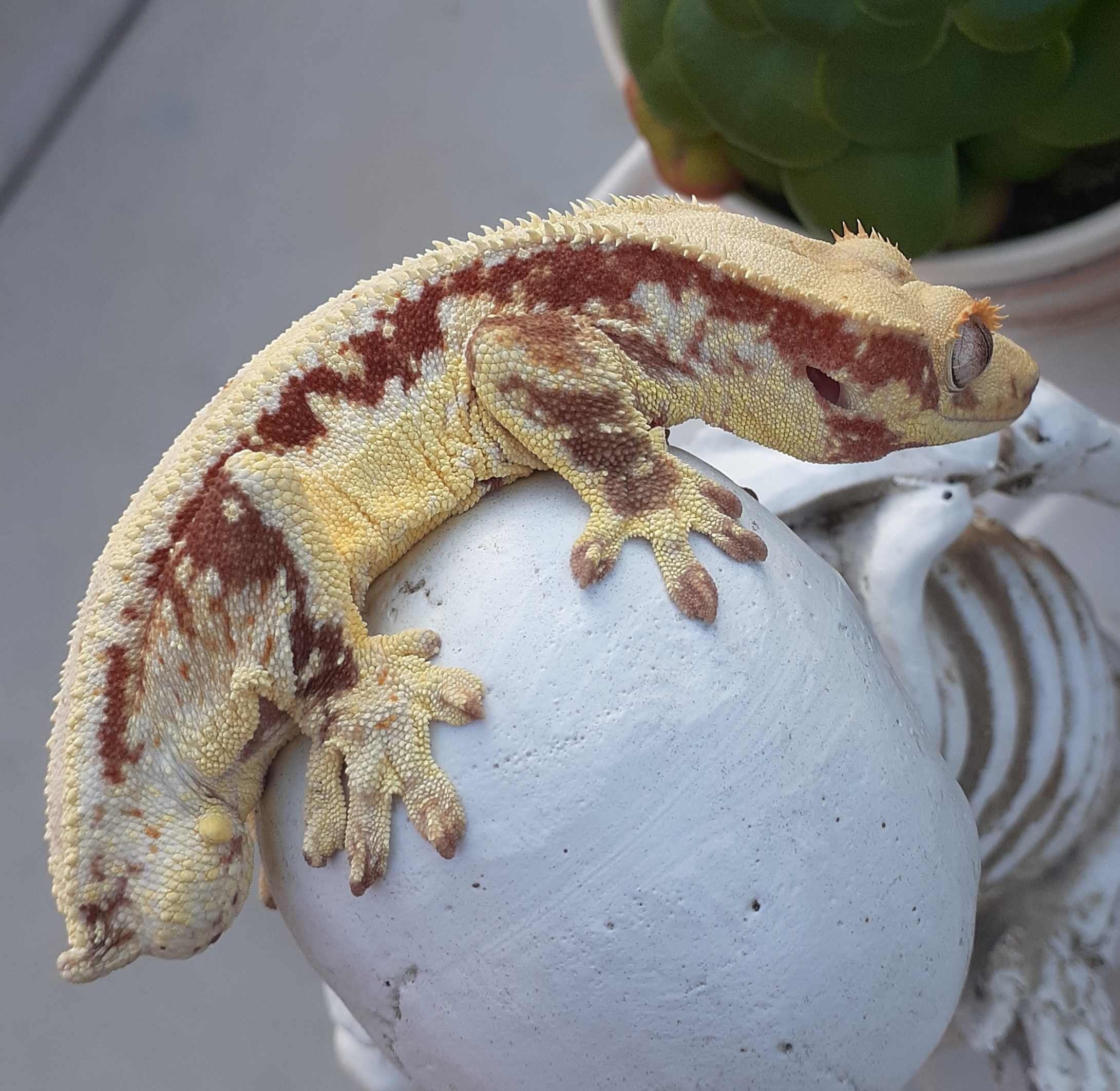 red lilly white crested gecko for sale