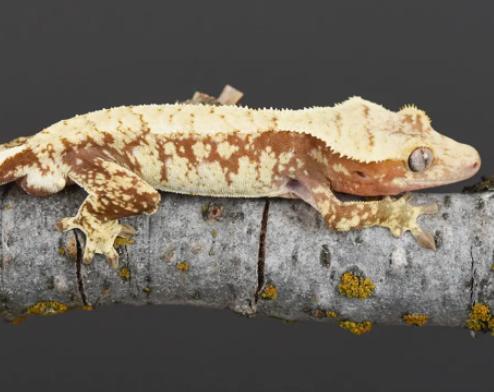 extreme harlequin crested geckos for sale