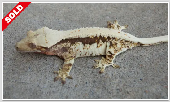 lilly white crested geckos for sale