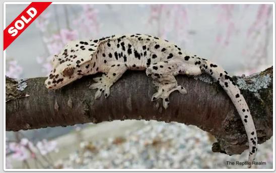 Super Dalmatian Crested Geckos For Sale
